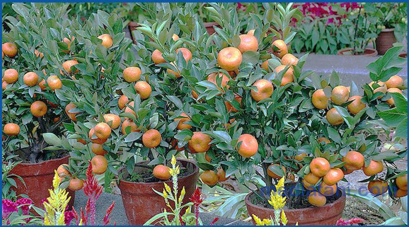 tanaman-jeruk-yang-ditanam-di-pot-photo-by-mediatani-com